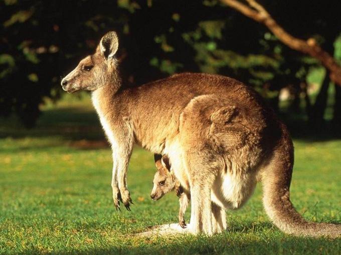 Почему кенгуру - санитары земли