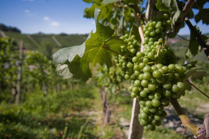 Как осуществлять уход за виноградом на приусадебном участке