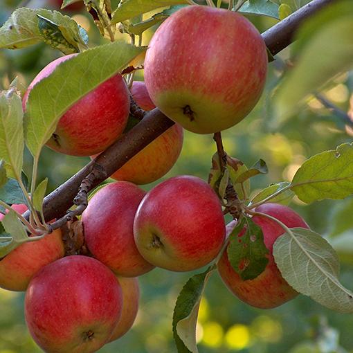 Как убрать урожай с яблонь быстро