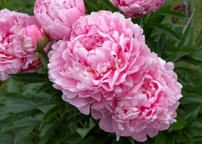 How to keep cut peonies