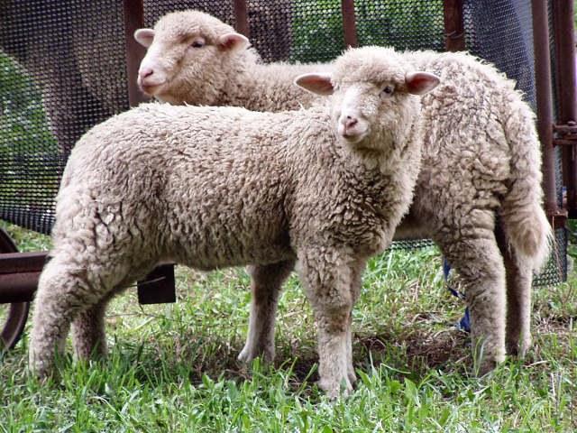 Как в Саратовской области задержали партию нелегальных овец