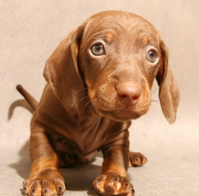 Как выбрать щенка карликовой таксы