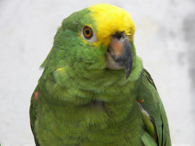 ухаживать за зеленым попугаем