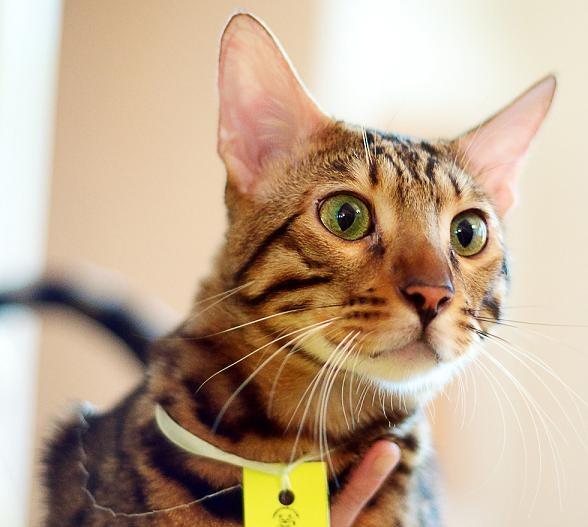 подготовить кошку к выставке