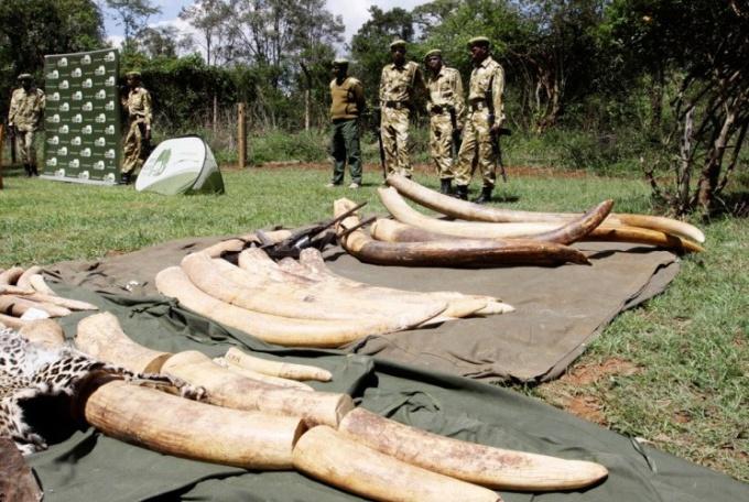 Почему в Зимбабве скопилось 50 тонн слоновой кости