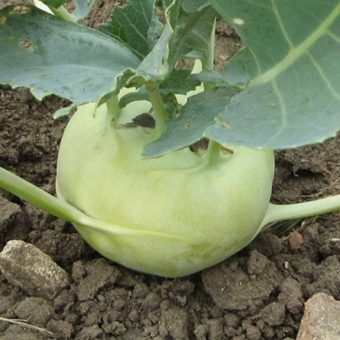 Как вырастить капусту кольраби