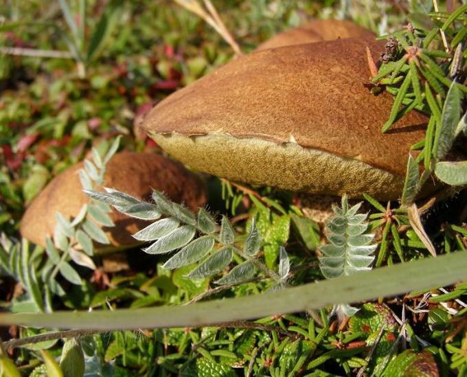 Какие осенние грибы можно сушить