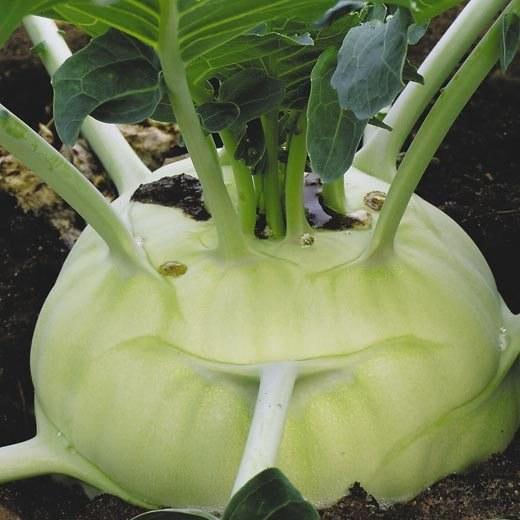 Как приготовить капусту кольраби
