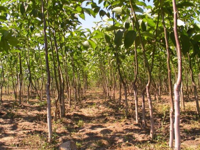 Как создать ореховый сад