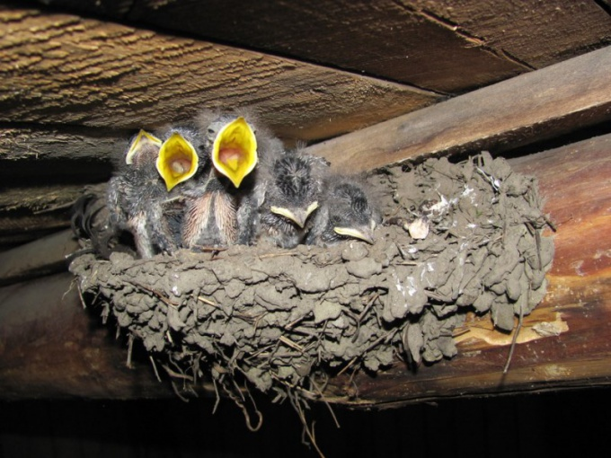 Why swallows build nests under the ridge of the house