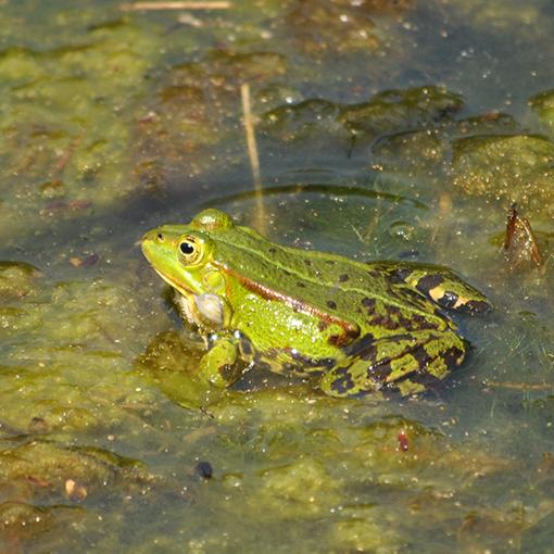 зачем лягушкам высовывает голову над поверхностью воды