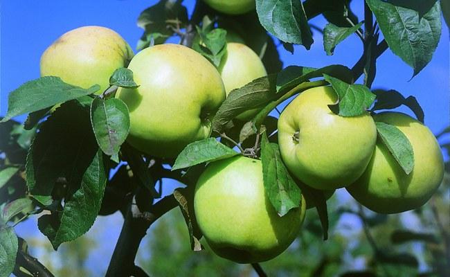 Как хранить зимние сорта яблок