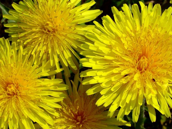 How to get rid of dandelions in the garden
