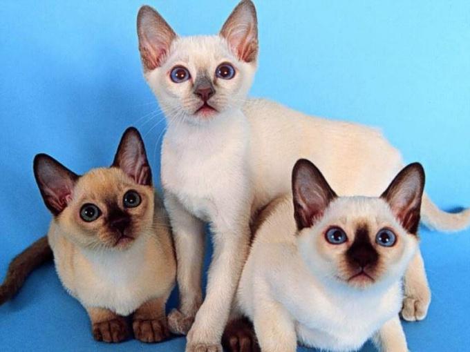 How to raise Siamese kittens