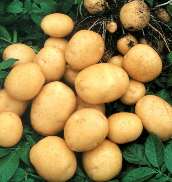 Как обеспечить хранение картофеля