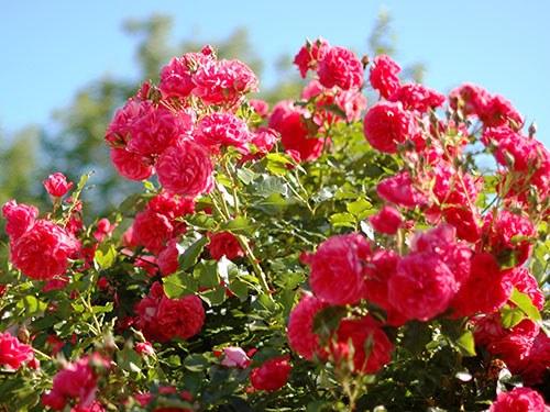 Как не обмануться при покупке роз