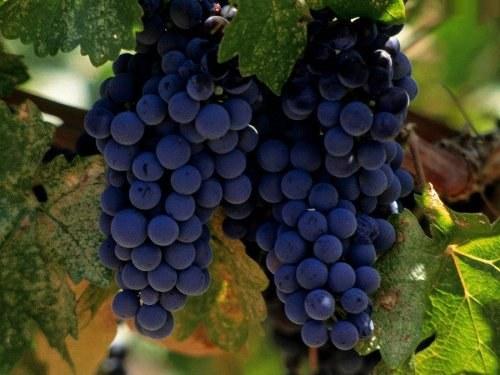 Как сварить виноградное варенье