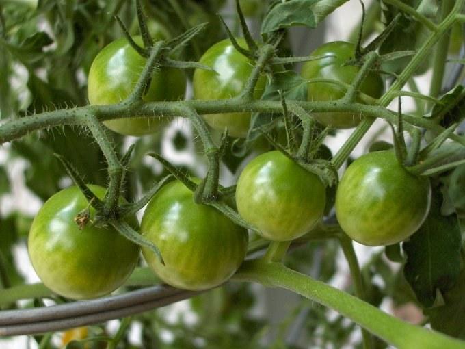 Как приготовить аджику из зеленых помидор