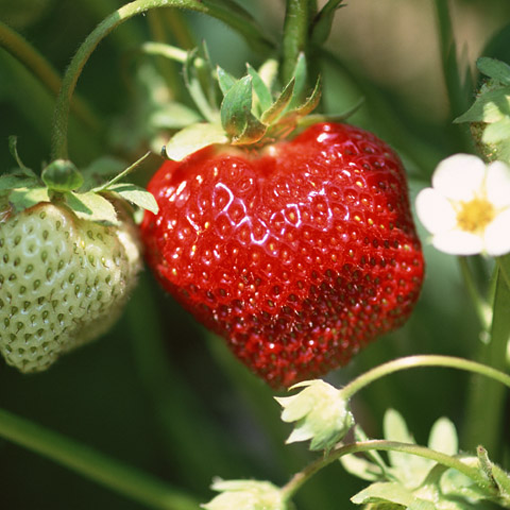 Как правильно ухаживать за садовой земляникой