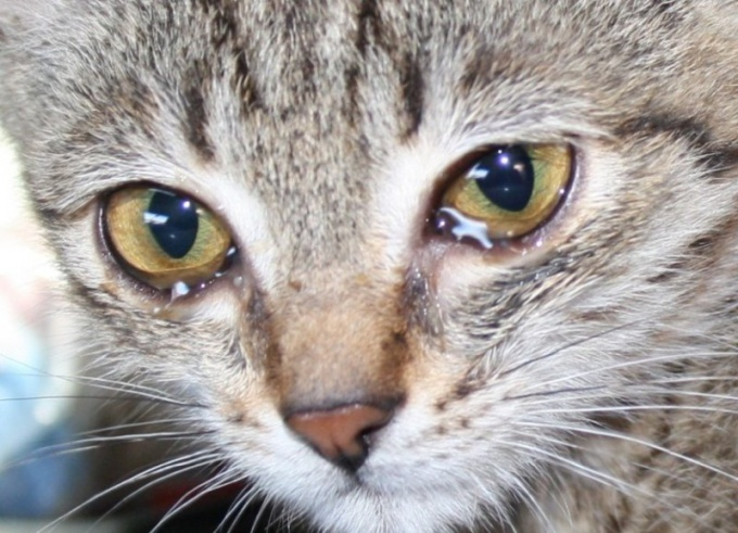 How to treat eye diseases in cats