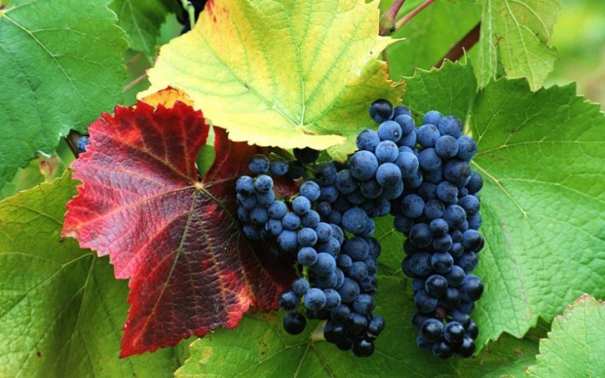 How to prevent vine diseases