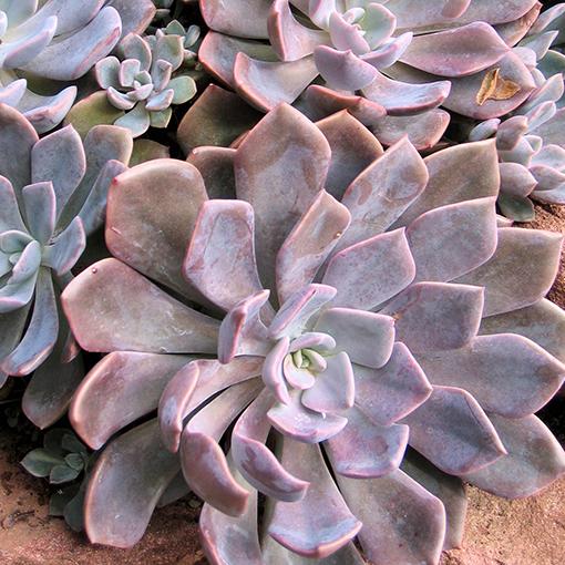 Эхеверия. Как выращивать эту каменную розу