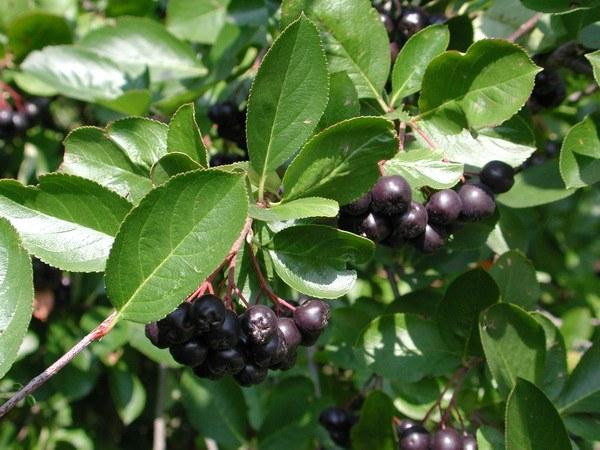 Что можно приготовить из черноплодной рябины