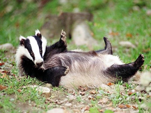 Барсук: ленивый увалень или хозяйственный лесной мужичок?