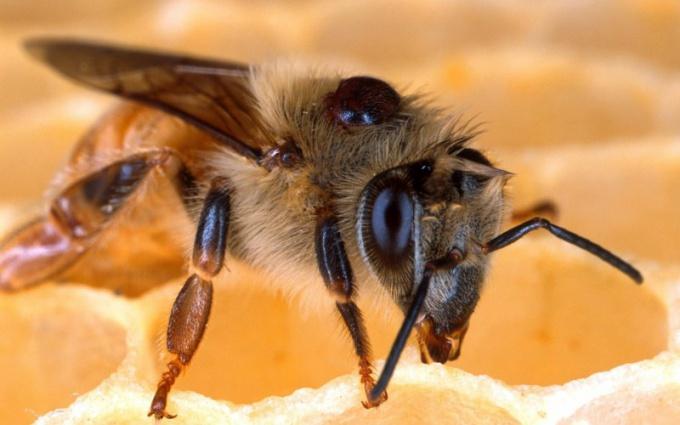 Как зимуют пчелы