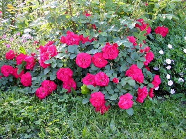 Growing garden roses