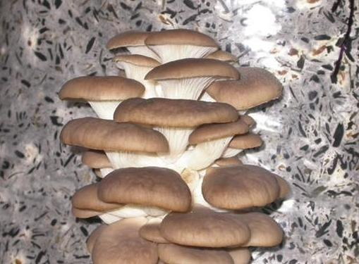 Питательные и целебные свойства грибов вешенок