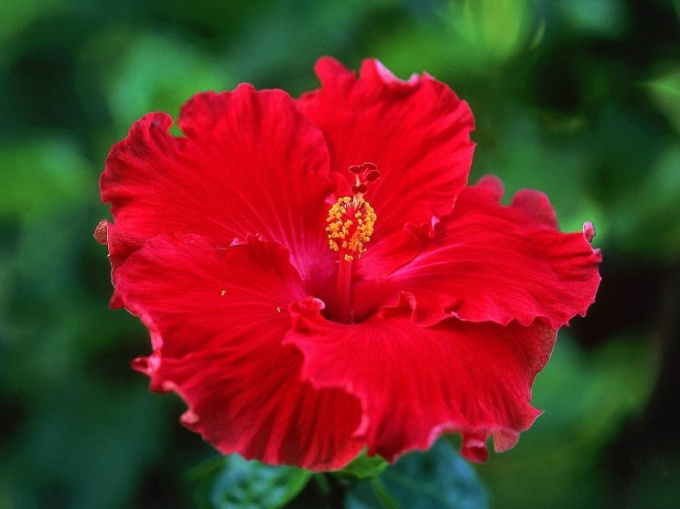 Гибискус: его полезные и лечебные свойства
