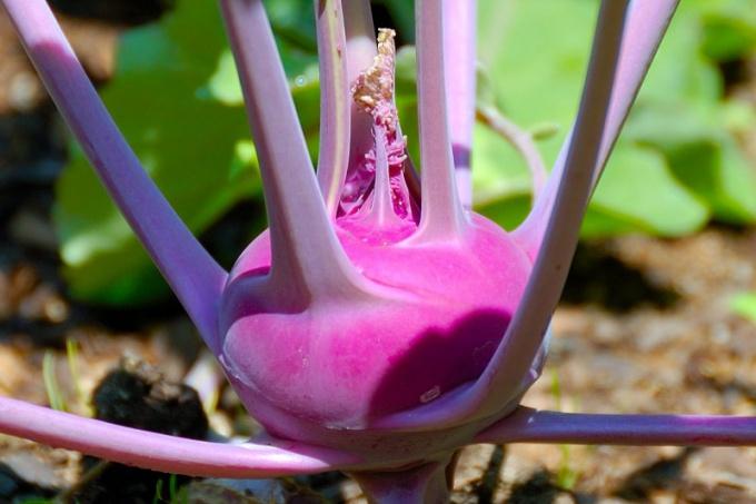 Полезные свойства капусты кольраби