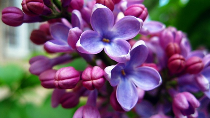 The use of lilac in folk medicine