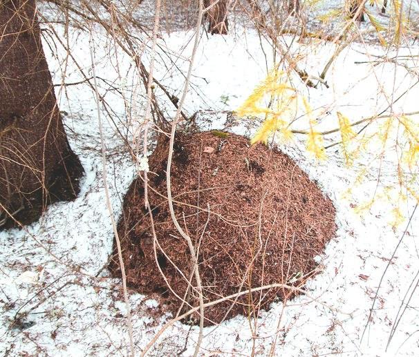 Под слоем снега, хвои и веточек муравьи способны перенести суровую зиму