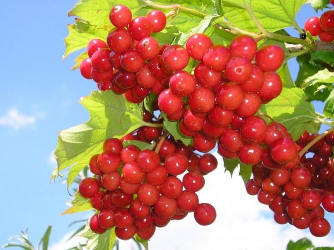 Полезные свойства ягод калины