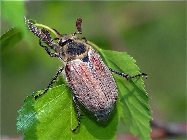 Как избавиться от майских жуков