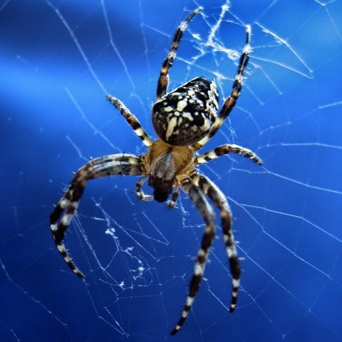 Как добывает пищу паук-крестовик