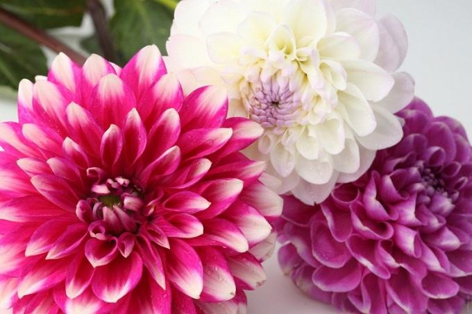 Правильное деление георгин - залог будущего цветения