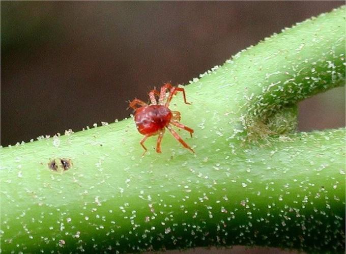 Как избавиться от паутинного клеща