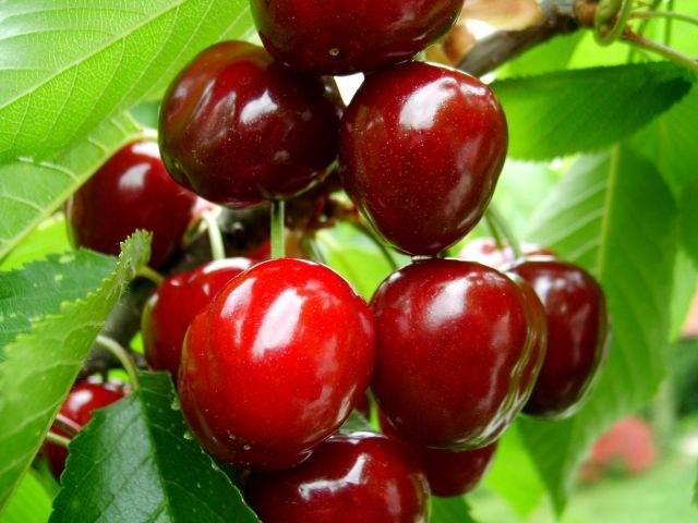 Как избавиться от порослей вишни