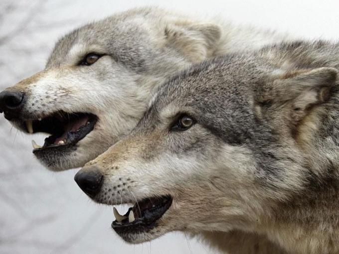 видео как волки добывают пищу