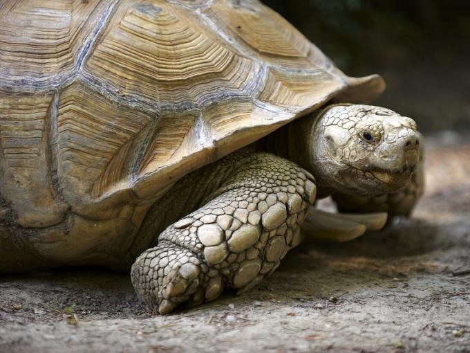 чем дышат черепахи