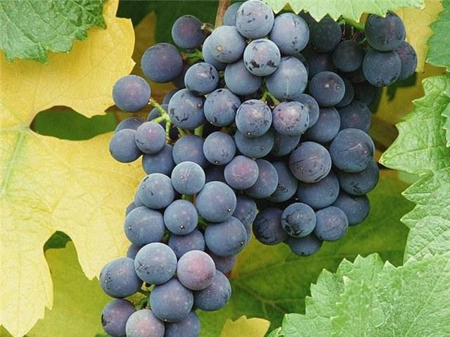Как вырастить виноград на Урале