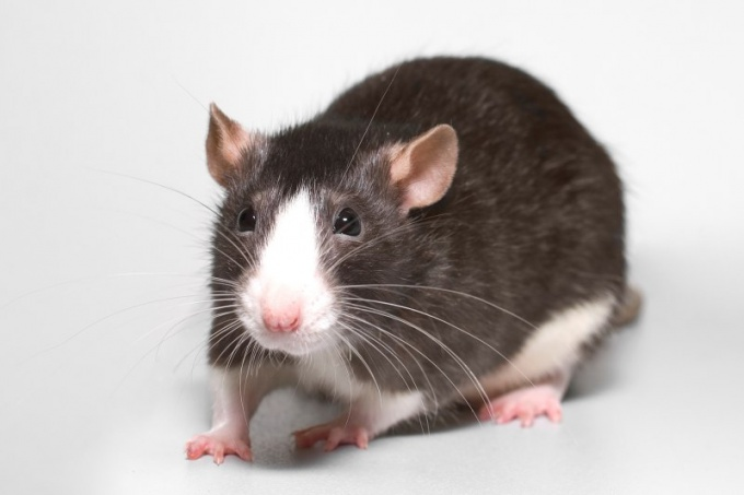 Как видят крысы