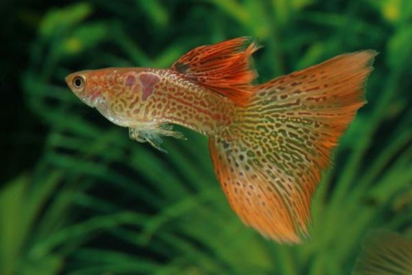 различить пола аквариумных рыб гуппи