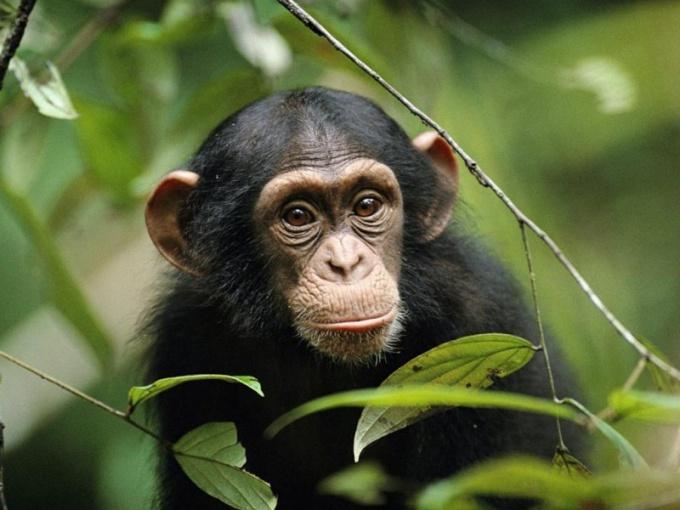 зрение у обезьян цветное или черно-белое