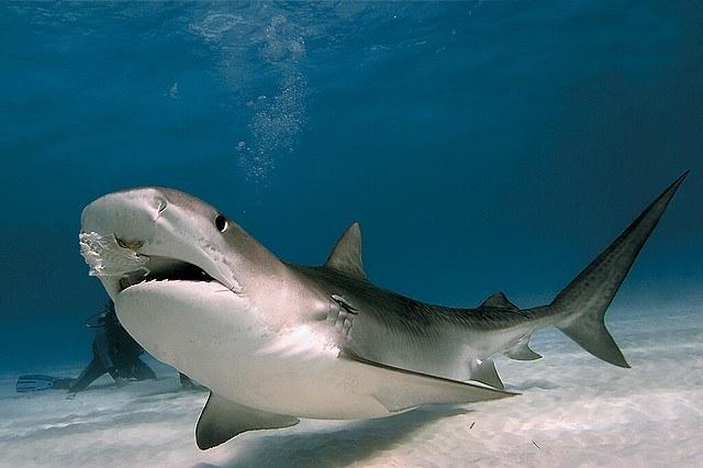 Как акулы нападают на людей