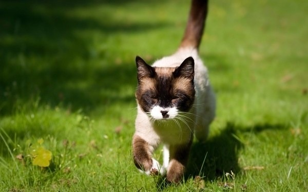 у кошки задняя лапка при ходьбе лежит