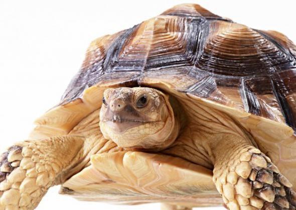 ростки овса для черепахи